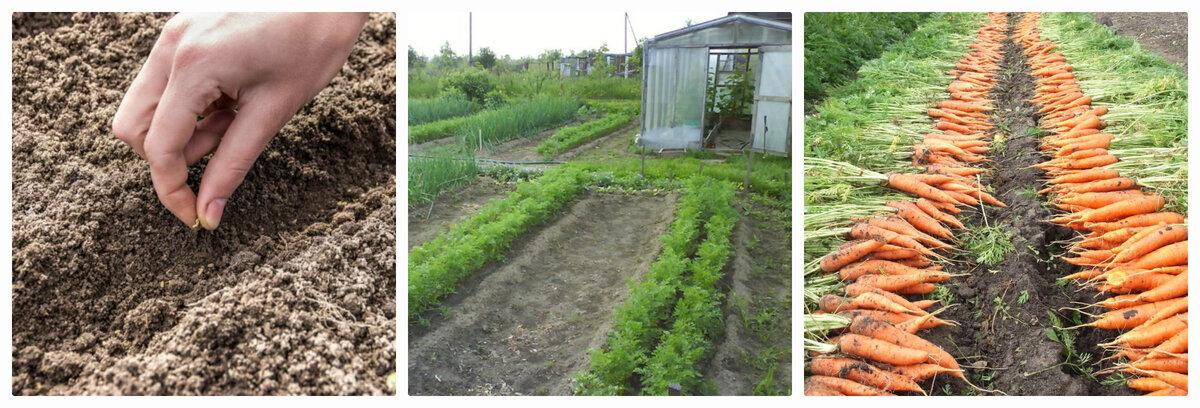 Выращивание моркови в открытом грунте: пошаговая агротехника посадки, уборки и ухода, секреты подкормок, а также как возделать крупный овощ на даче, когда проредить?