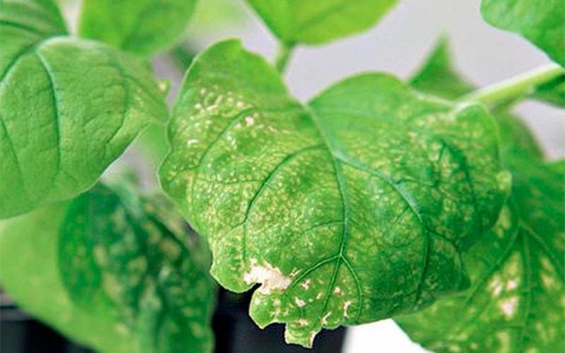 Почему появляются белые пятна на листьях, основные причины