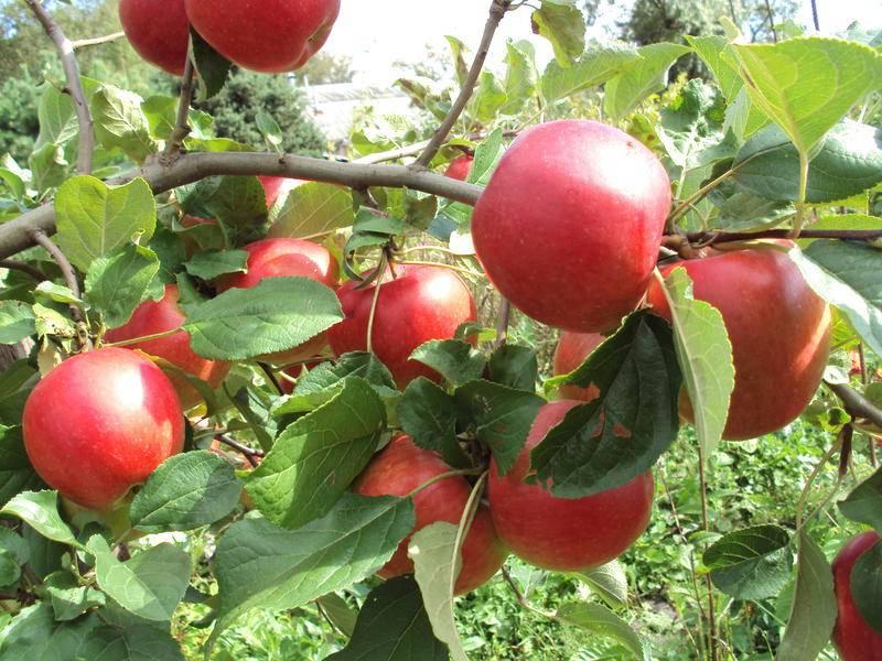Яблоня веньяминовское: описание, фото, отзывы