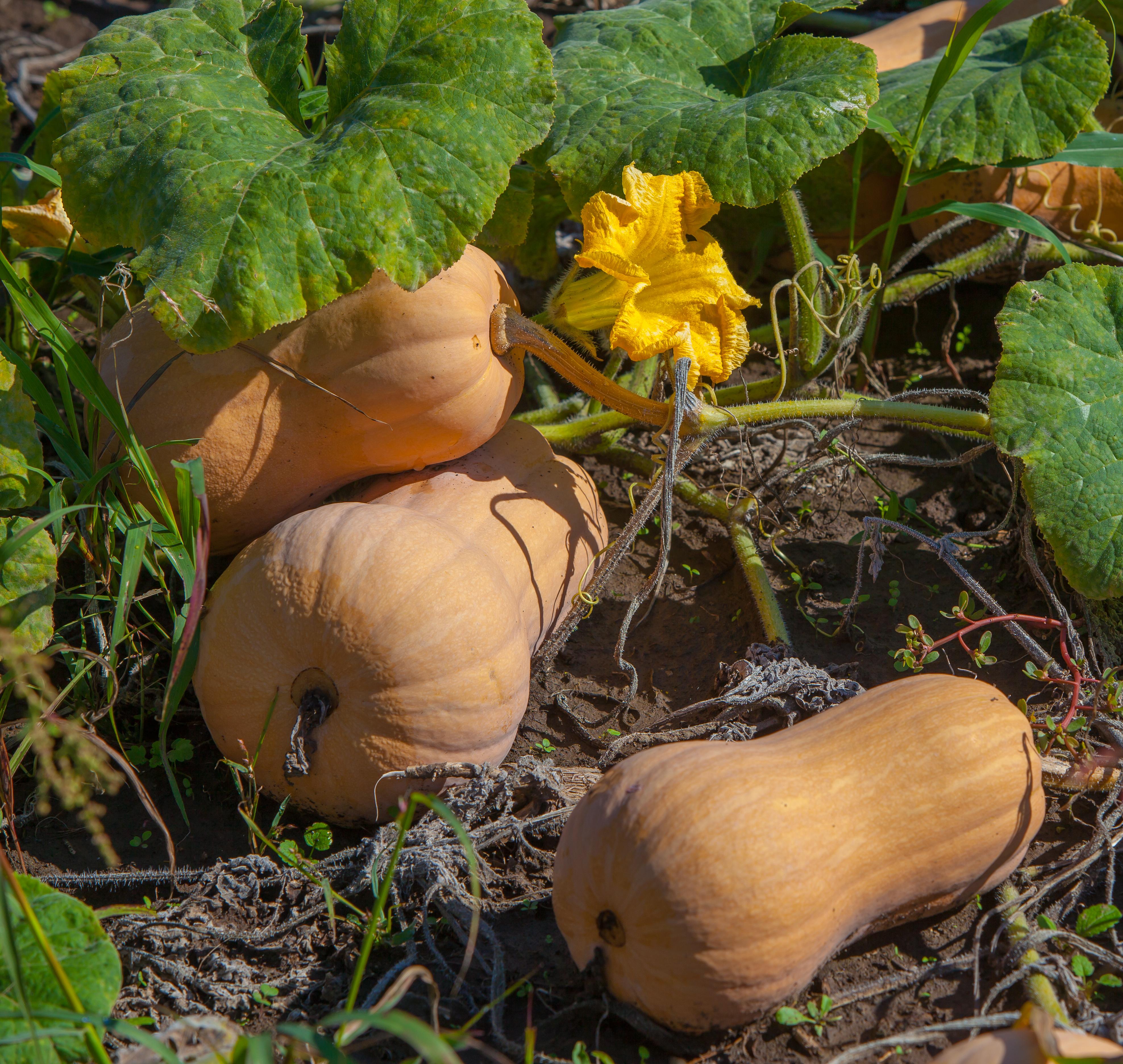 Выращивание тыквы баттернат