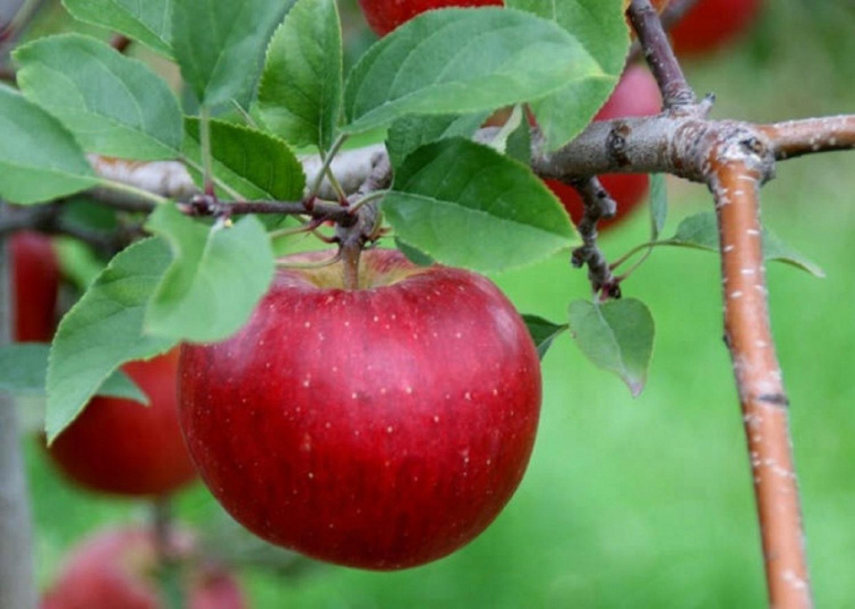 Яблоня флорина: особенности сорта и ухода