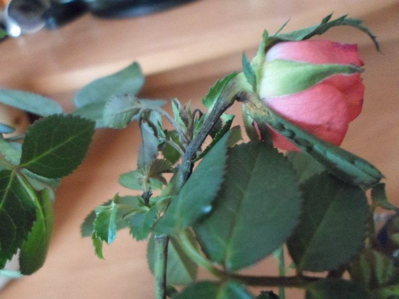 Почему у розы сохнут бутоны не распустившись: раскладываем по пунктам