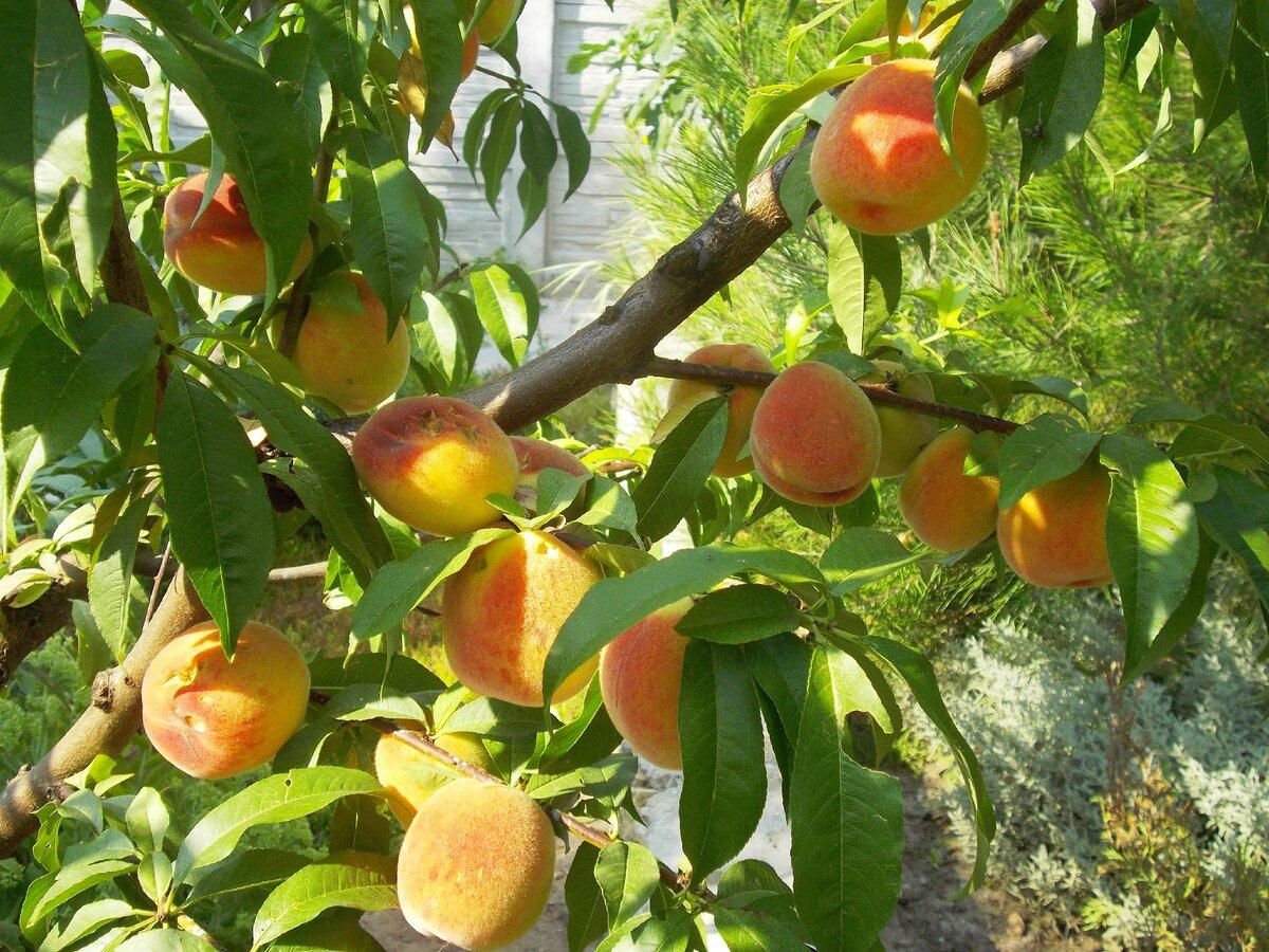 Персик воронежский кустовой: описание сорта, отзывы, фото, посадка и уход, выращивание, урожайность, морозостойкость, вкусовые качества