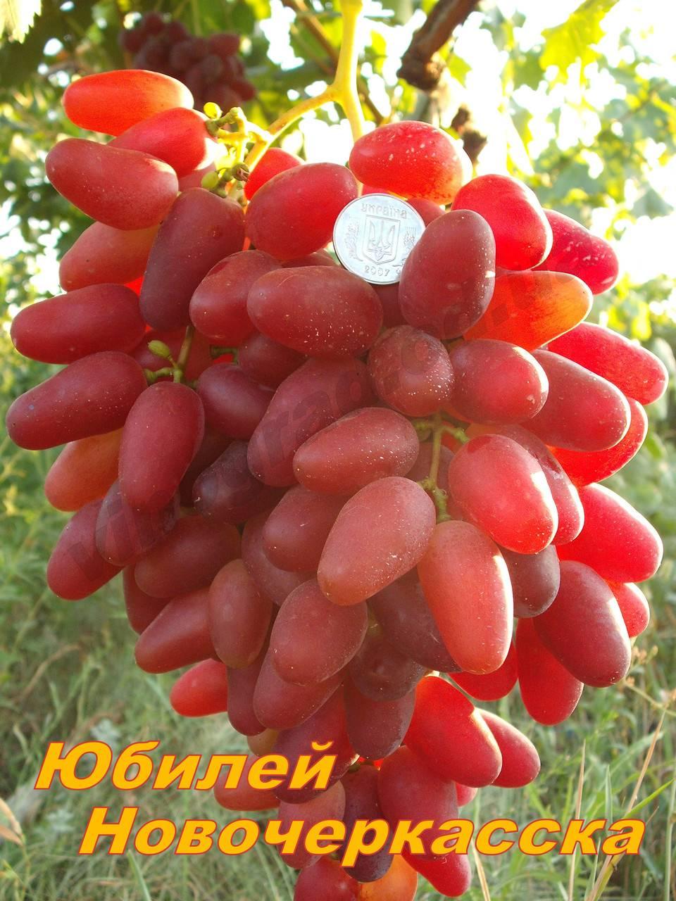 Сорт винограда «юбилей новочеркасска»