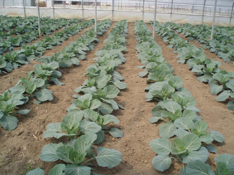 Технология выращивания ранней рассады пекинской, цветной и капусты брокколи в неотапливаемой теплице
