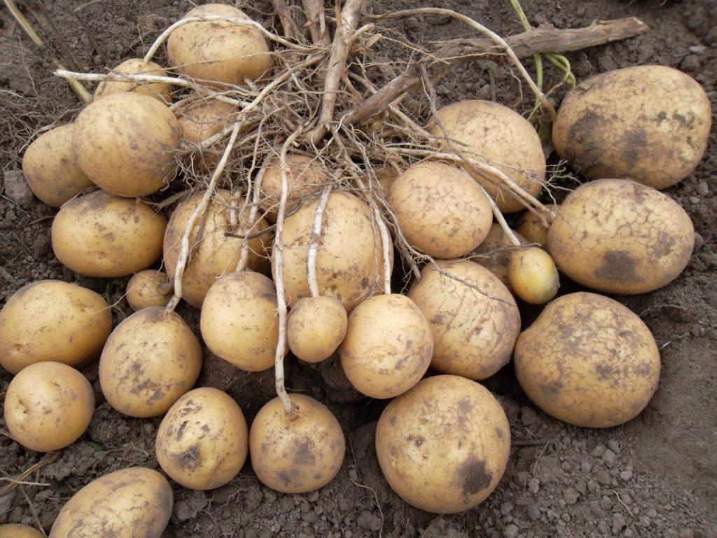Картофель рогнеда: описание и характеристика сорта, правила выращивания, фото
