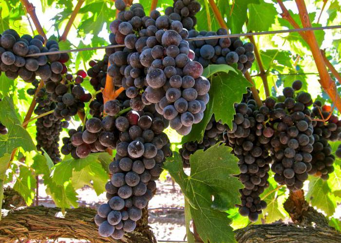 Виноград красень: фото, описание сорта, характеристика