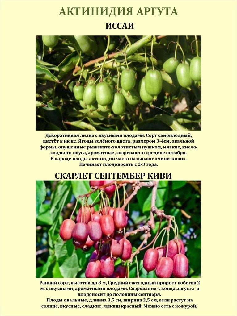 Актинидия: посадка и уход в открытом грунте, сорта с фото, размножение