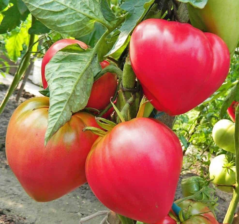 Лучшие сорта томатов для подмосковья: в теплицы и открытый грунт