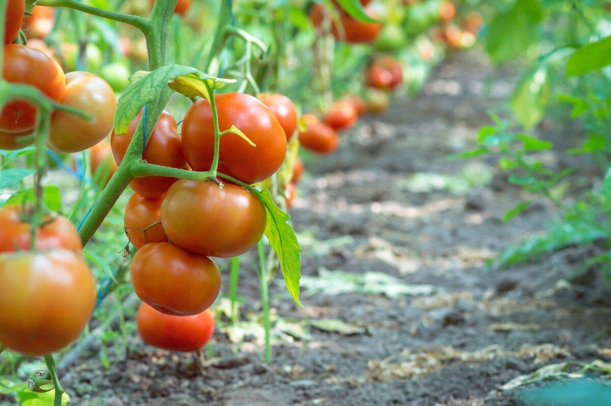 Самые лучшие 46 сортов томатов для теплицы: описание с фото и отзывы о них