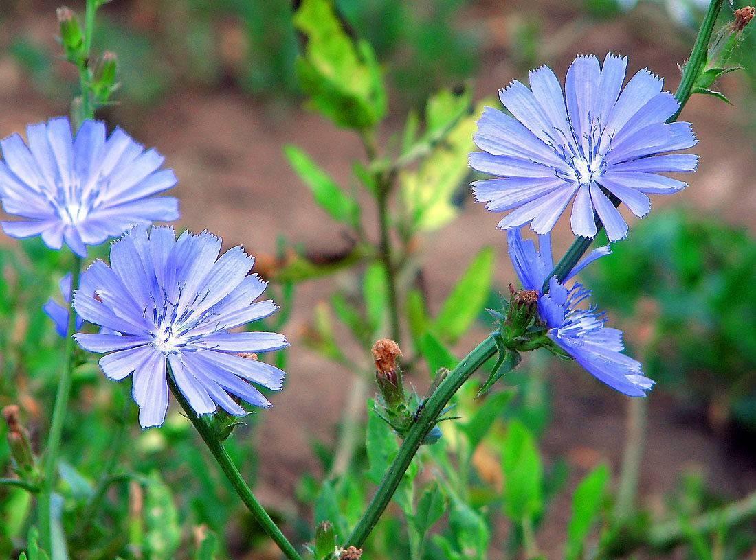 Цикорий: состав и лечебные свойства — floraprice.ru