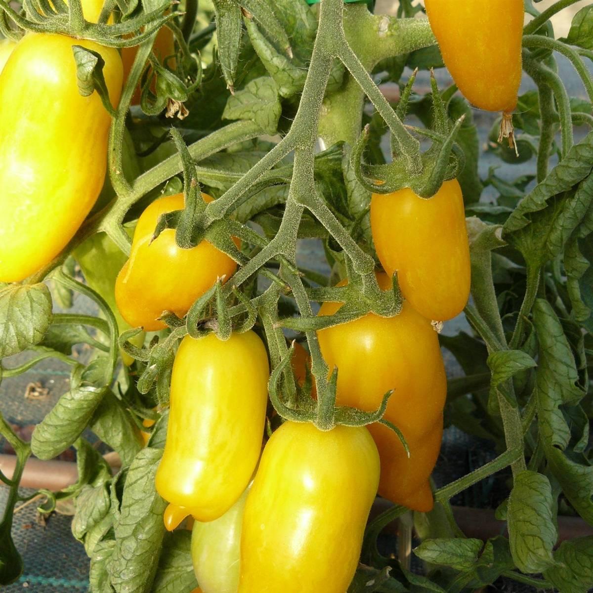Универсальные помидоры для всех регионов россии — томат «банан красный»: описание сорта и фото