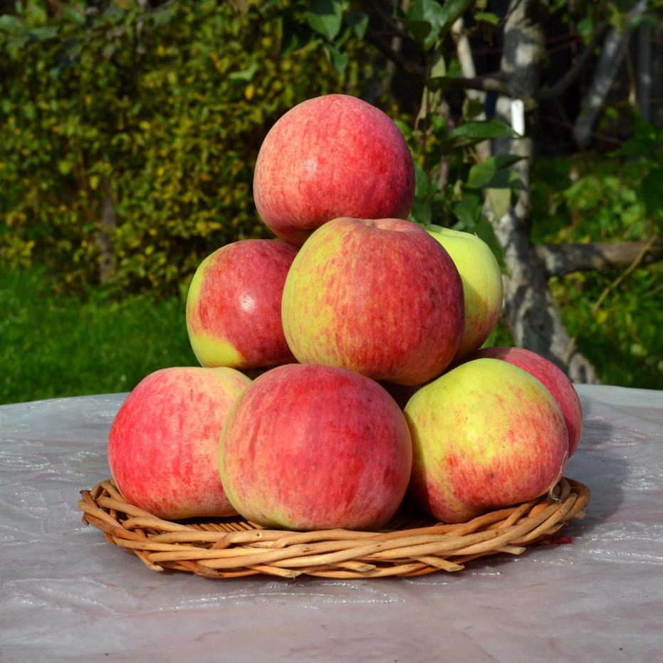 Описание сорта яблони жебровское: фото яблок, важные характеристики, урожайность с дерева