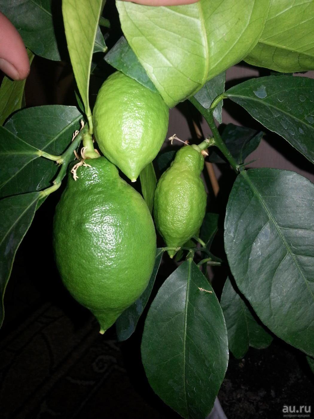 Лунарио лимон