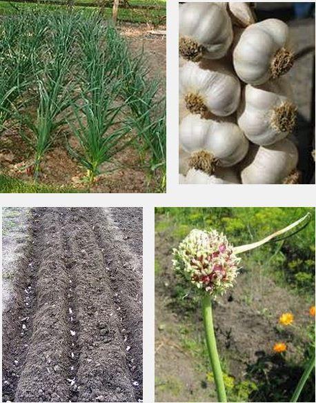 Благоприятные дни для посадки чеснока в 2021 году весной