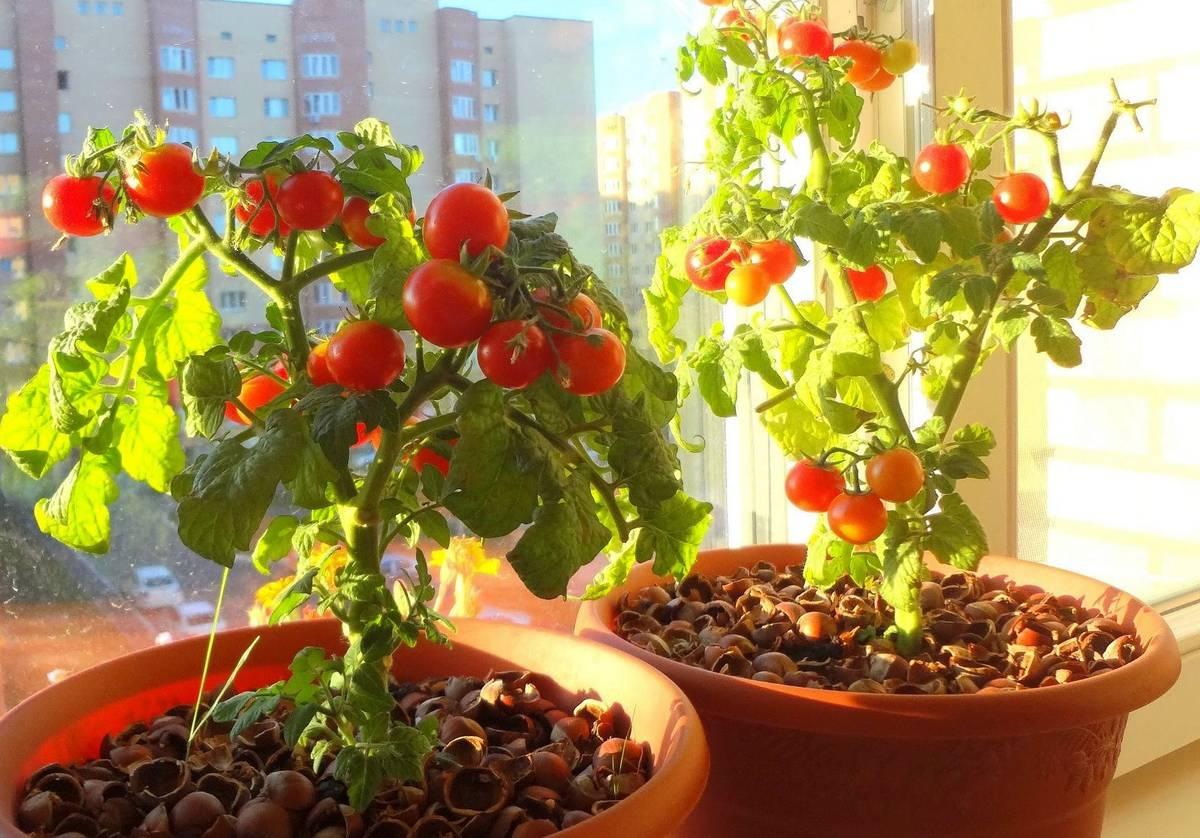 Выращивание помидоров на подоконнике в квартире: правильный уход в домашних условиях, технология от а до я, как посадить на окне семена комнатных томатов в горшок? русский фермер