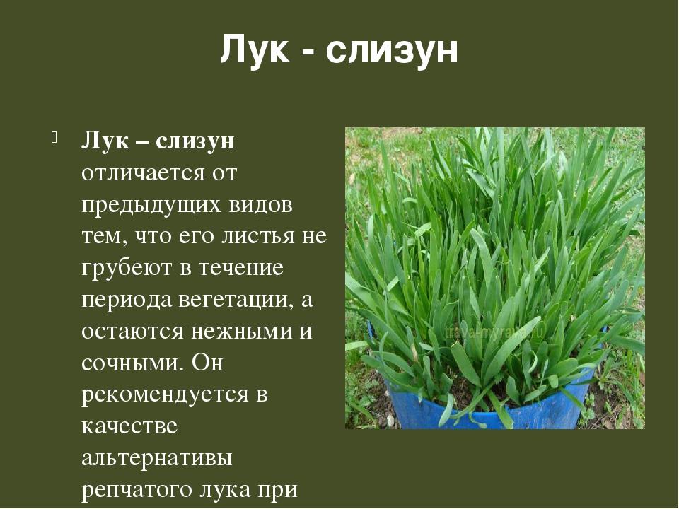 Лук слизун: описание сорта и возможные заболевания лук слизун: выращивание и уход