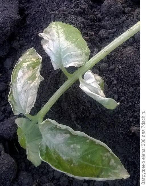 Почему рассада капусты вянет и сохнет после высадки в грунт