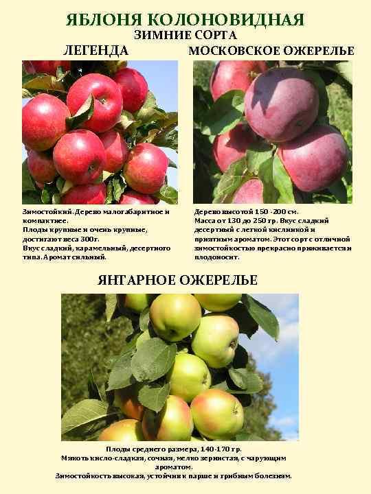 Яблоня имант: перспективный белорусский сорт