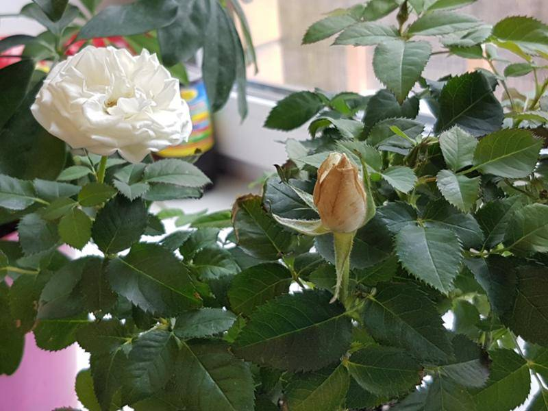 Почему на бальзамине могут опадать цветы и нераспустившиеся бутоны и что делать