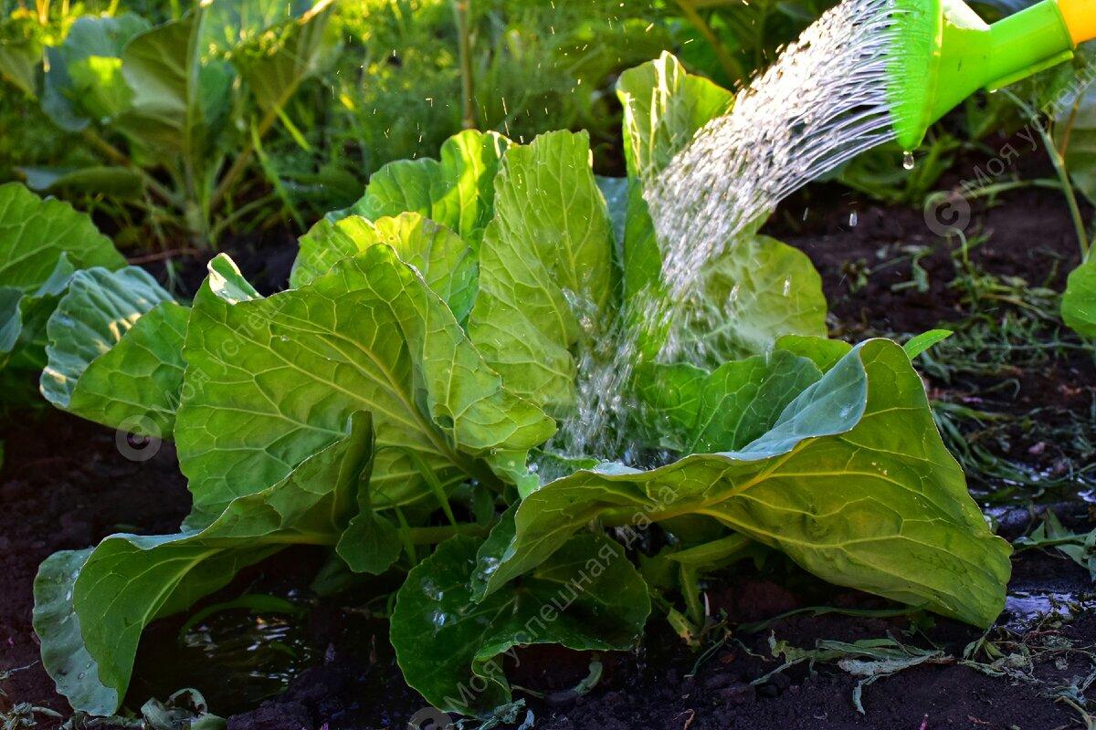 Сколько, чем и как поливать капусту в открытом грунте для хорошего урожая?