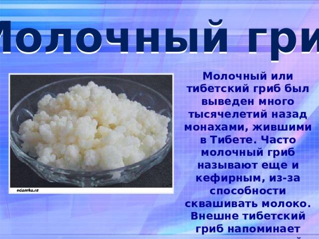 Молочный гриб: как ухаживать и употреблять молочный гриб. полезные свойства молочного гриба