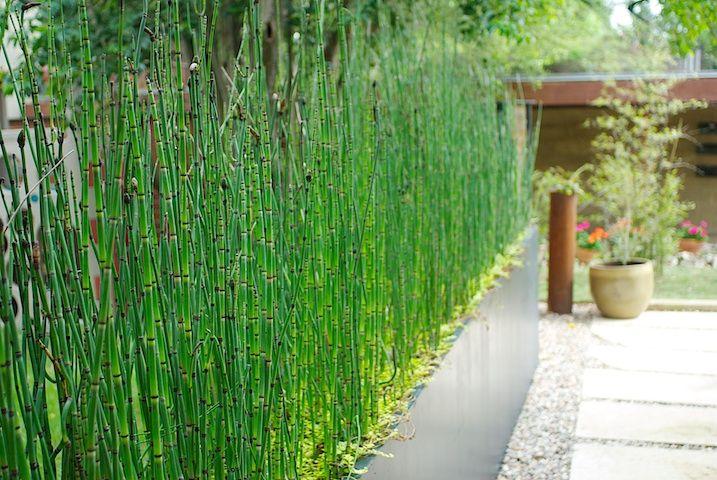 Морозостойкий садовый бамбук