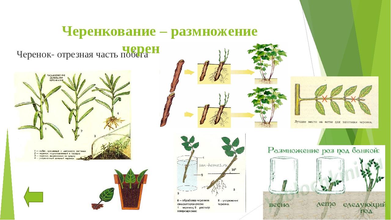 Размножение облепихи: инструкция + 105 фото посадки и выращивания облепихи