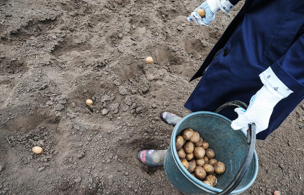 Как вырастить картофель в дождливое лето: посадка и уход, особенности выращивания, сбор урожая