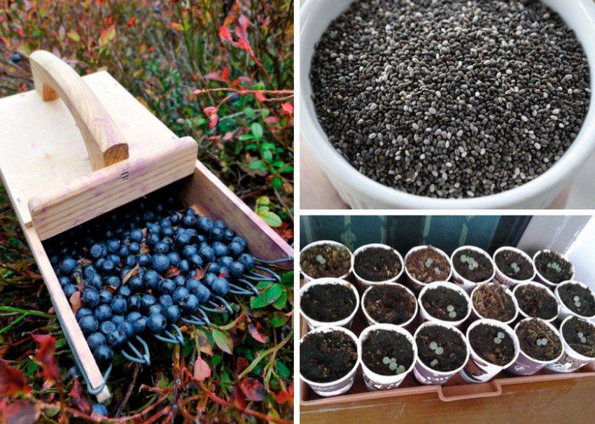 Как вырастить голубику дома в неограниченном количестве: больше не придется покупать эту ягоду!
