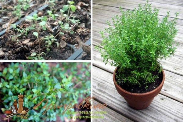 Выращивания тимьяна из семян: посадка и уход в открытый грунт,