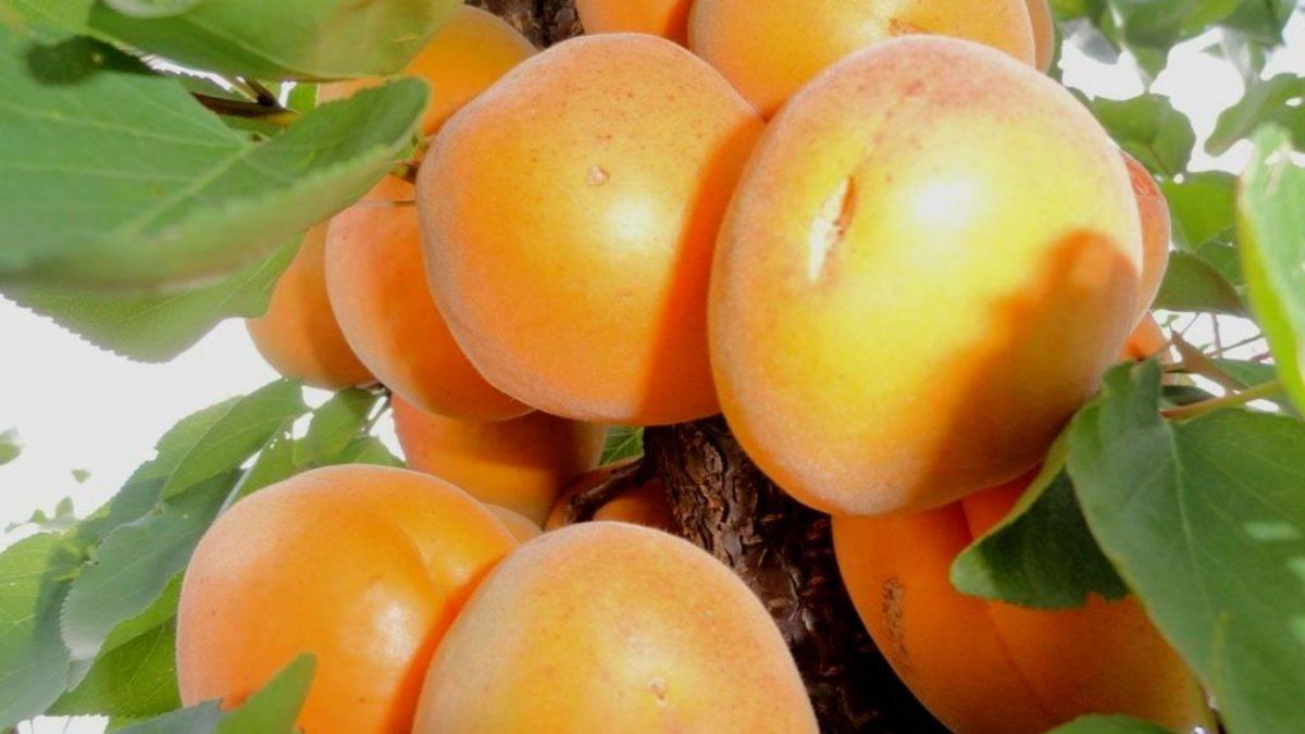 О абрикосе: описание и характеристики, посадка, уход, выращивание