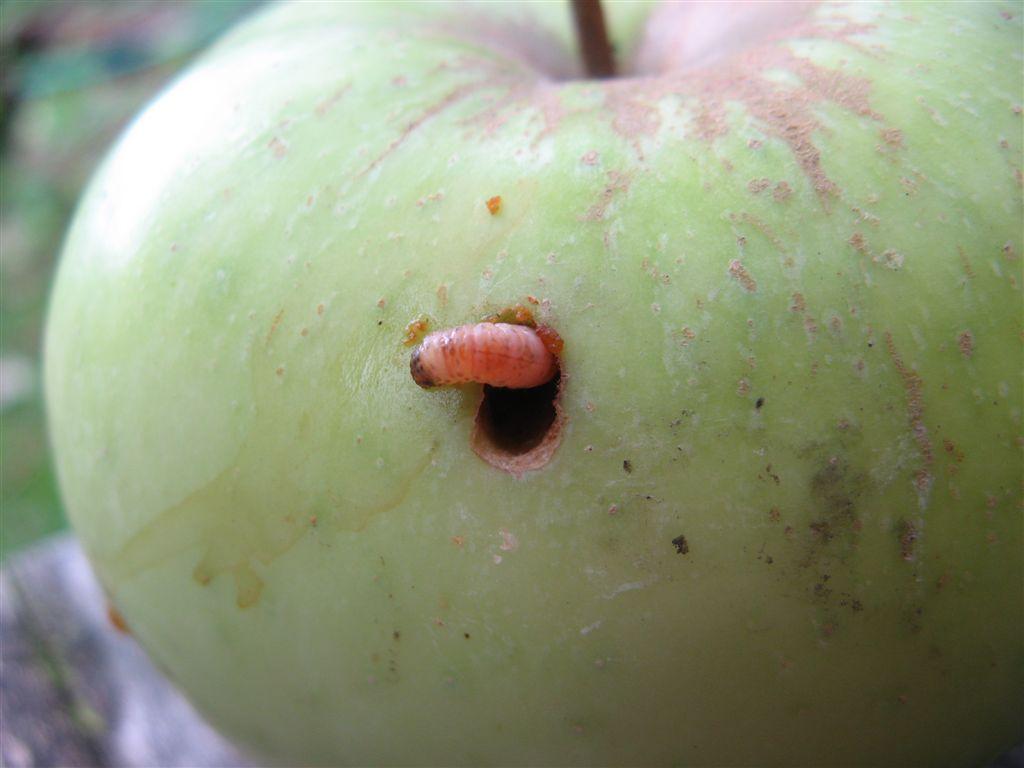 Насекомые-вредители яблонь: фото, обработка, чем опрыскать деревья для защиты и профилактики