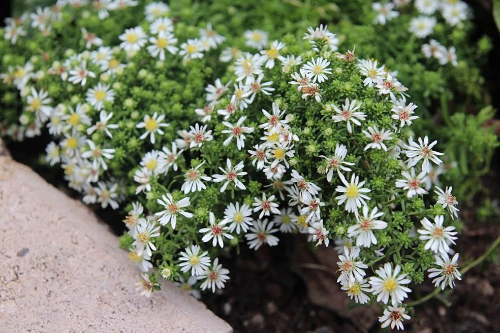 Выращивание астры из семян (26 фото): как выглядят ростки цветов? как выращивать всходы в домашних условиях? как собрать семена?