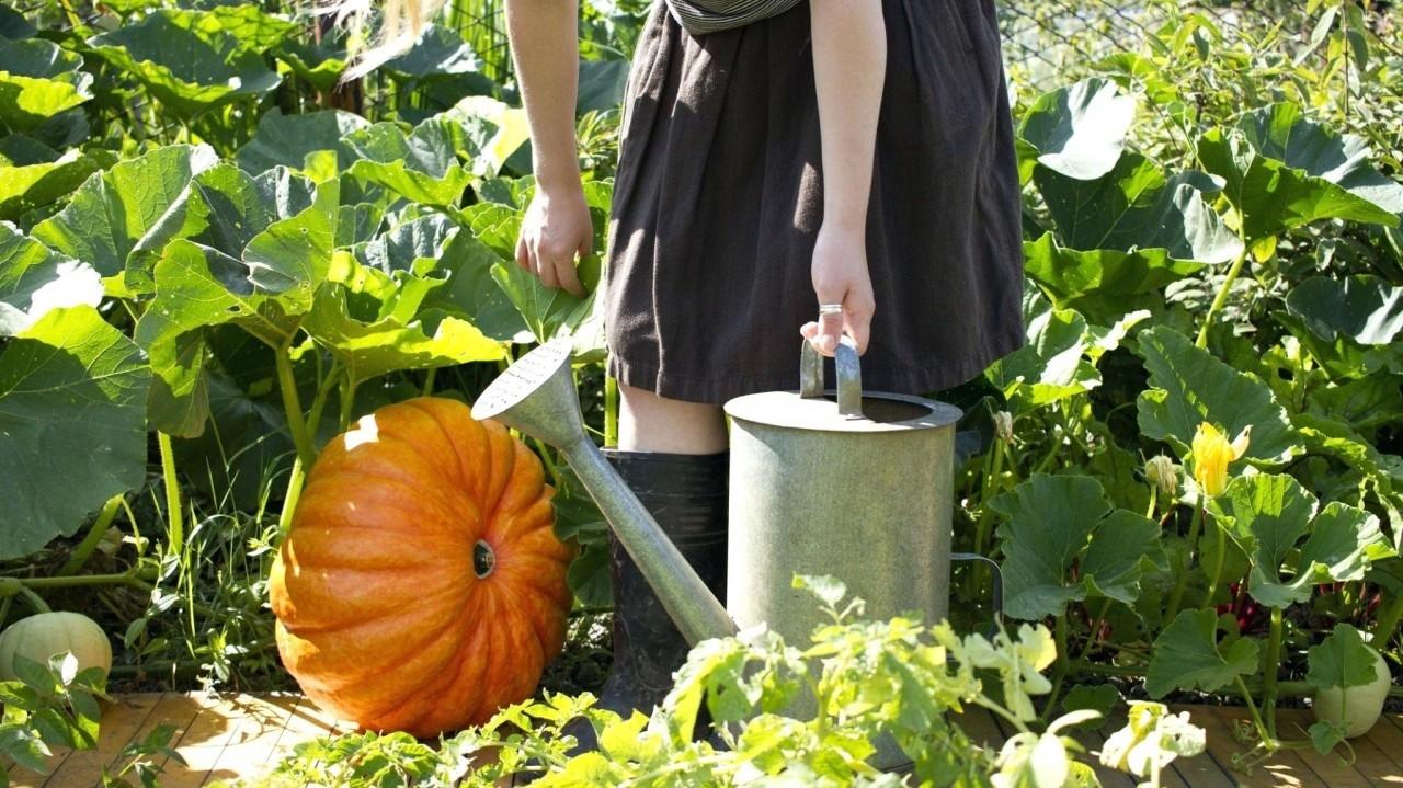 Чем подкормить тыкву в августе: в открытом грунте, для плодоношения