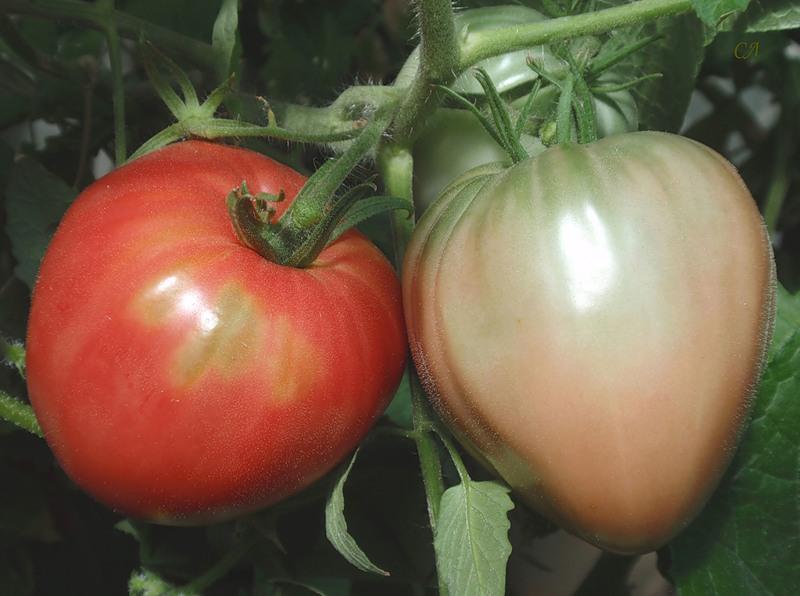 Томат крупноплодный царь-колокол: характеристики, описание агротехники, реальные отзывы