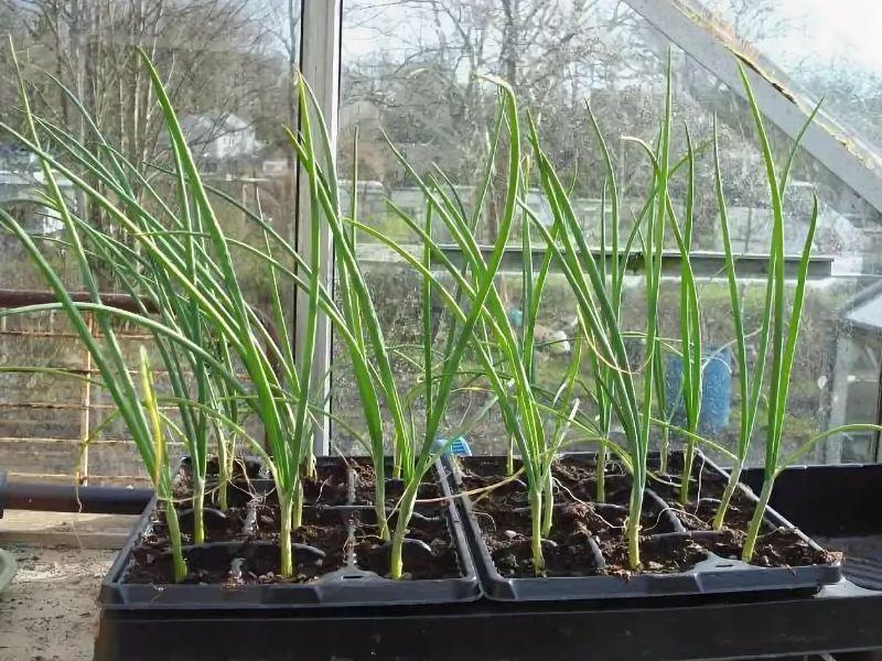 Выращивание крупного лука эксибишен через рассаду - правила получения хорошего урожая