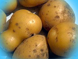 Картофель уладар: описание сорта, фото, характеристика, отзывы