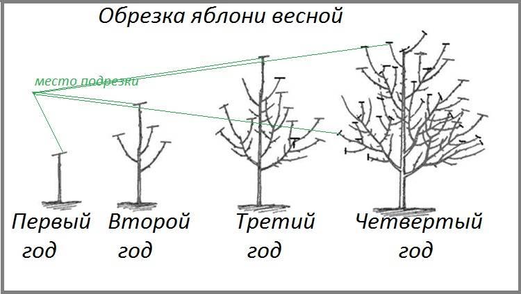 Советы агрономов, как сформировать крону колоновидной яблони