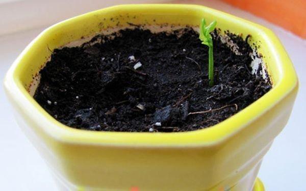 Грунт для цитрусовых - необходимый состав и требования