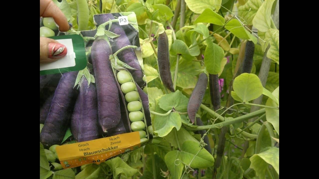 Овощной горох: фото, описание, выращивание и уход
