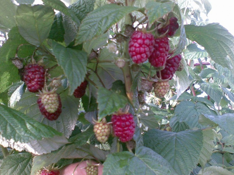Описание сорта малины бабье лето и бабье лето-2: фото, отзывы