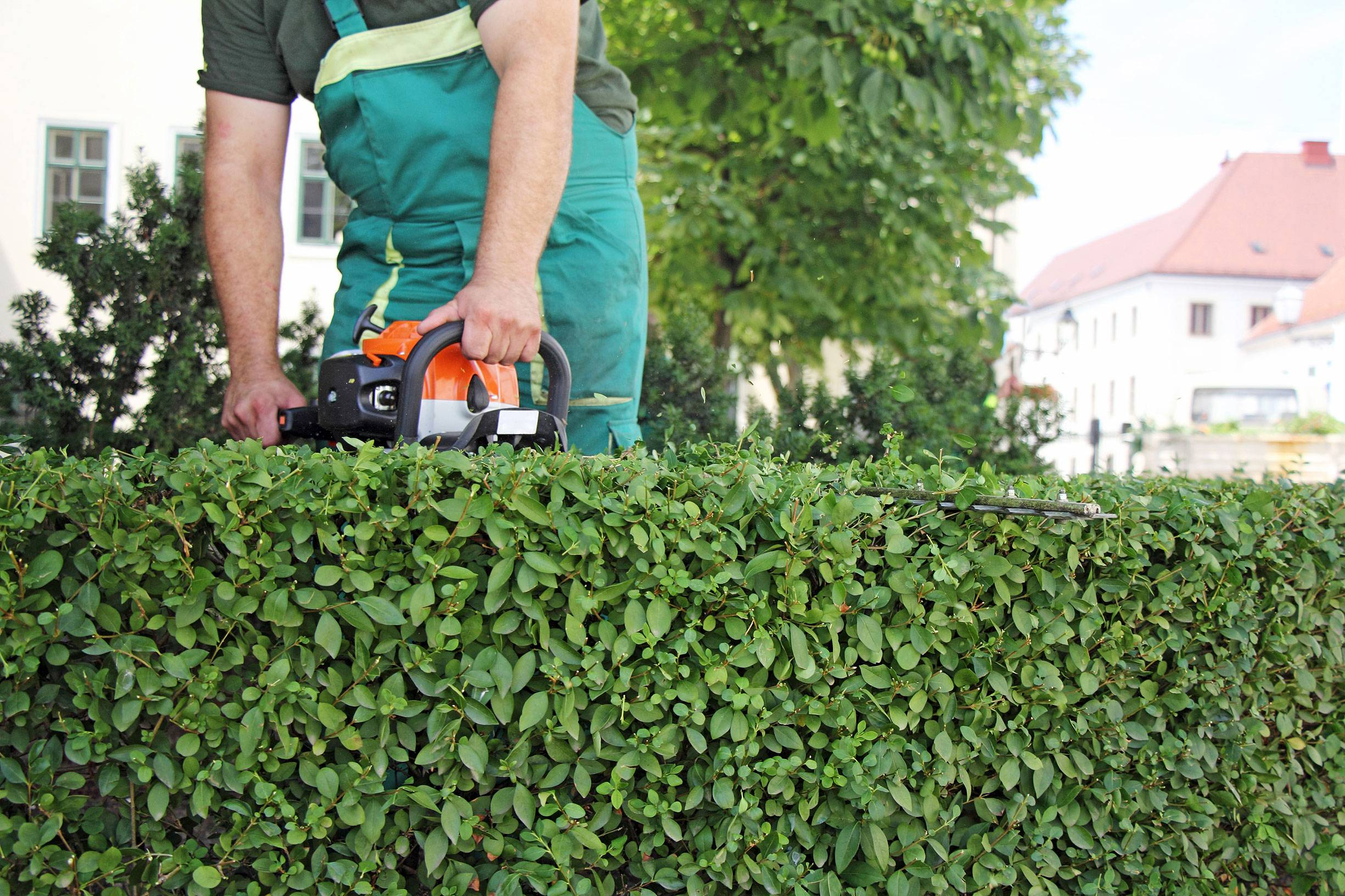 Как вырастить живую изгородь из саженцев боярышника