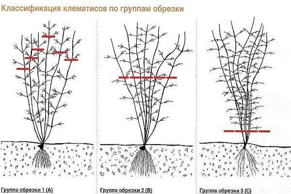 Клематис «доктор руппель»: описание сорта и секреты его выращивания