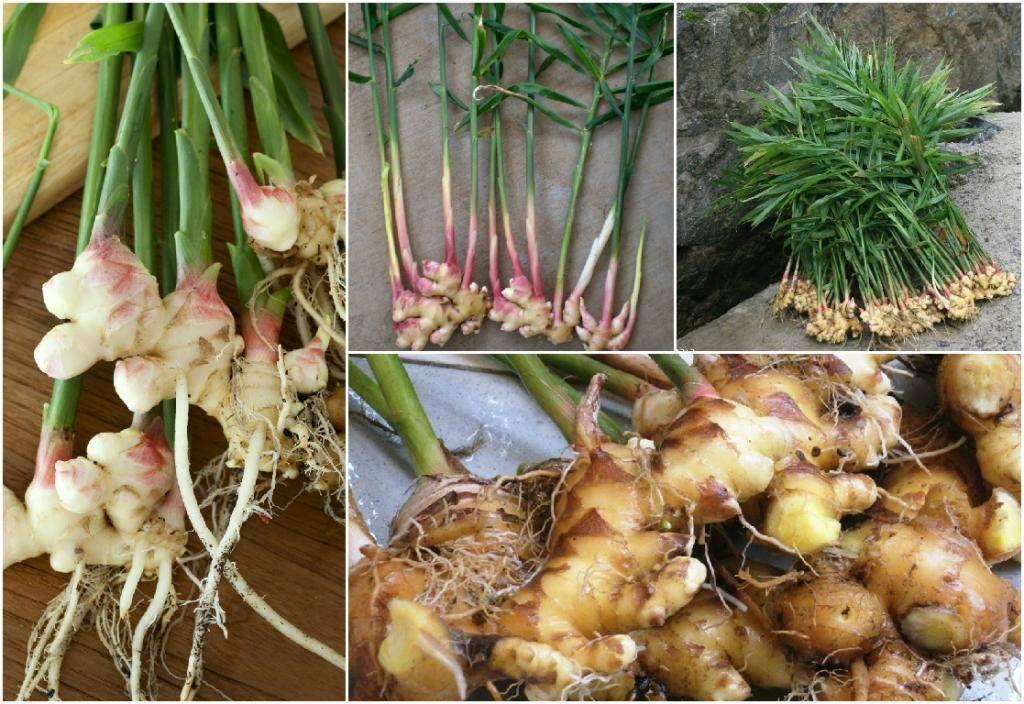 Выращивание имбиря в домашних условиях