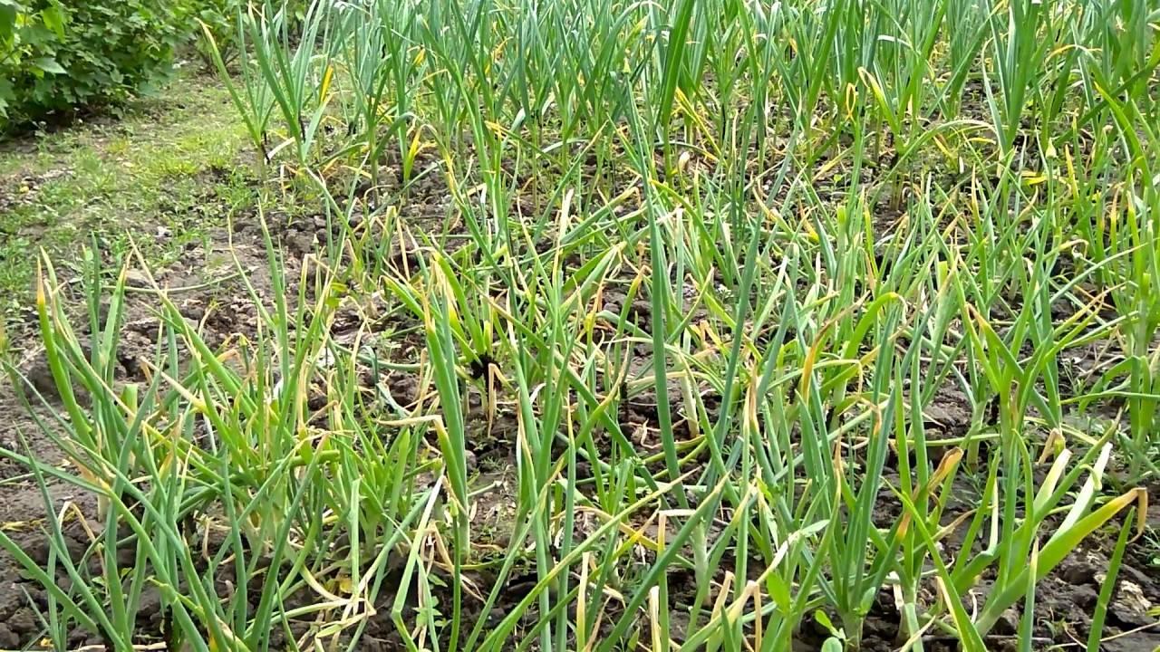 Болезни лука, вредители и борьба с ними на огороде