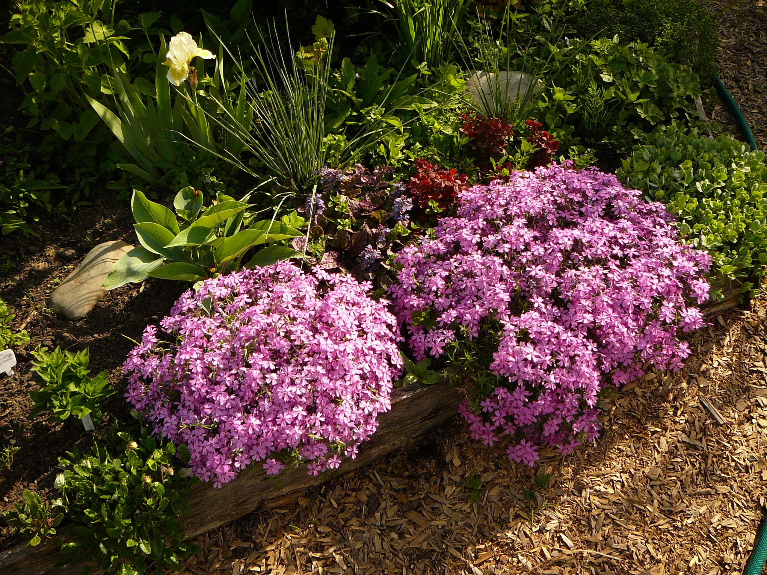 Какие многолетние цветы лучше всего приживаются в условиях урала и сибири