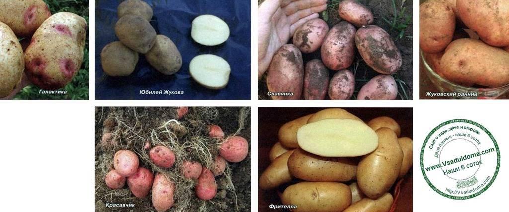 Картофель луговской: описание и характеристика сорта, правила выращивания, фото