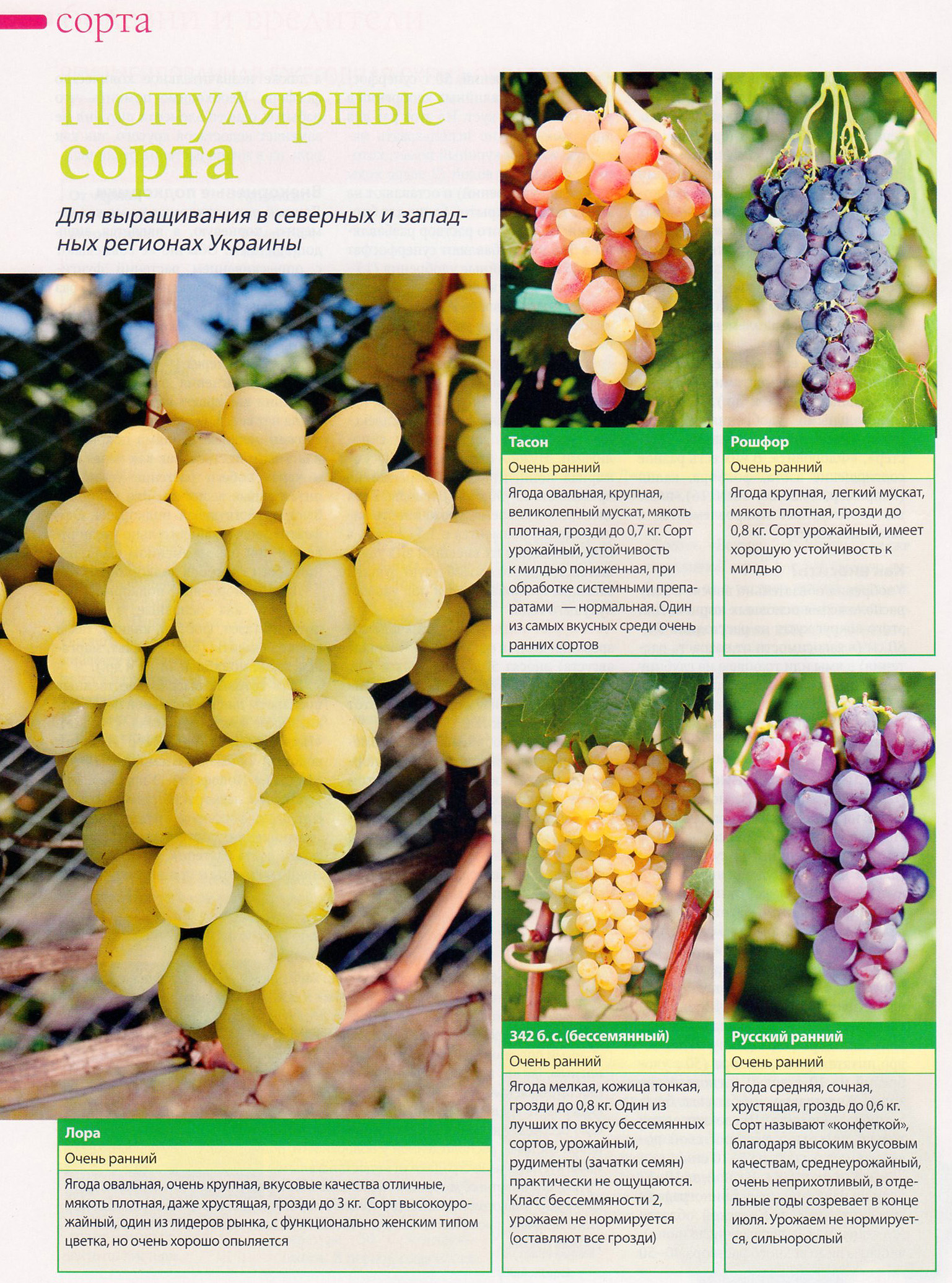 Столовый виноград «рошфор»