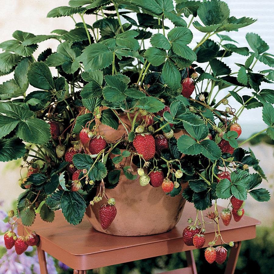 Клубника на окне. выращивание, посадка, уход. фото — ботаничка.ru